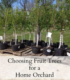 Choosing fruit trees.  Starting a home orchard.