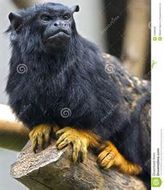 Red-Handed Tamarin - Bing Images