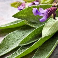 Common sage (Salvia officinalis) is best for cooking. Golden and purple varieties are available, as well as 'Tricolor,' in which leaves are green, cream and a pinky-purple. Essential Oils For Colds, Sage Essential Oil, Sage Benefits, Sage Herb, Medicinal Herbs, Hair Health, Fragrance Oil, Home Remedies, Health Remedies