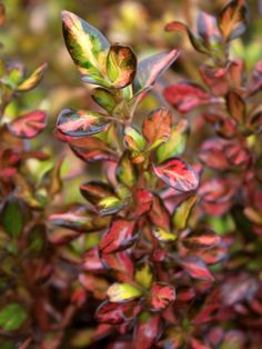 Upright-growing shrub has striking variegated foliage with irregular yellow patches. The glossy evergreen foliage turns bright orange-red in late summer-to-fall and remains so until new growth in s… Evergreen Shrubs, Trees And Shrubs, Deer Resistant Plants, Home Garden Design, Tropical Landscaping, Garden Inspiration, Garden Ideas, Horticulture, Garden Plants