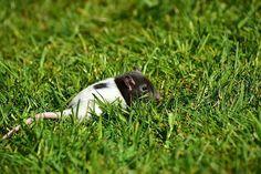 Babyratte im Gras