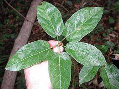 Sterculia Quadrifida - Peanut Tree