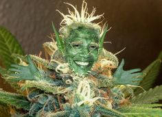 Weed Seeds Buy Marijuana Seeds Online http://www.growingmarijuanaebook.com