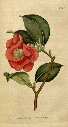 椿(カメリア) Camellia japonica L. Botanical Magazine, vol. 2  (1788)