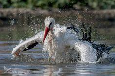 washing stork by Riccardo Trevisani on 500px