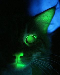 Meet Mr Green Genes - the World's First Glow-in-the-Dark Cat -  His eyes glow ghoulishly in the right light, just like any other cat's - but so do his nostrils, gums and tongue.