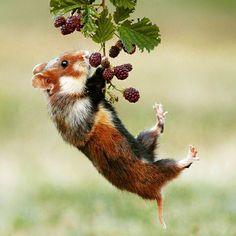 beautiful-wildlife: Acrobat by Julian Ghahreman Rad Wild living Hamster All Gods Creatures, Cute Creatures, Beautiful Creatures, Animals Beautiful, Nature Animals, Animals And Pets, Funny Animals, Cute Animals, Wildlife Nature