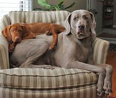 Vizla  Weimaraner - This picture needs a cat on top of the dogs to be complete.