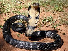 King Cobra - Google Search