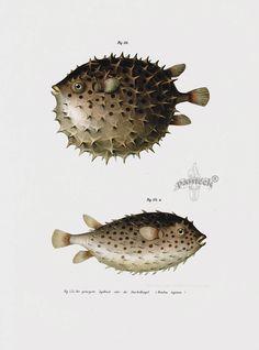 Puffer fish diagram for Blowfish vs puffer fish
