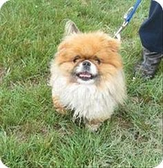 Stratham, NH - Pomeranian/Pekingese Mix. Meet Coco- Companion To Buster, a dog for adoption. http://www.adoptapet.com/pet/13253073-stratham-new-hampshire-pomeranian-mix
