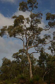 Adam - Wandoo Tree (Australia)