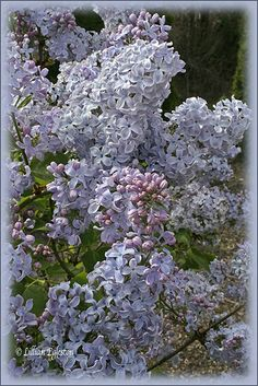 The Lilacs' Perfume Fills the Air...