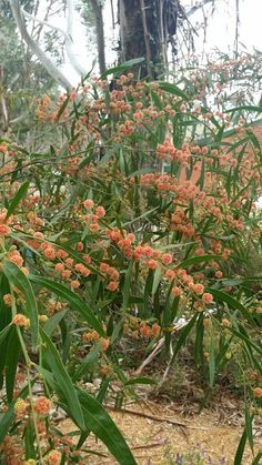 Acacia scarlet blaze.... The only red flowering wattle. My garden.