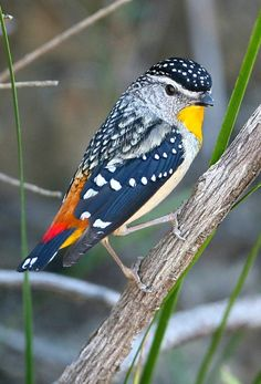 Spotted Pardalote (Pardalotus punctatus). One of the smallest of Australian birds.  photo: Greg Miles.