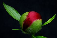 Wings of Spring ~ Bud of Peony (Paeonia officinalis)