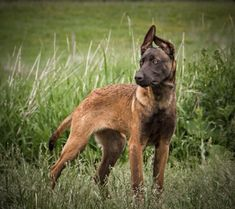 Baden K-9 Like This Page · June 6 ·   Just because someone is told they are in charge does not mean they are.  Mike McConnery Baden K9 || light eyes || Malinois