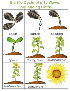 Life Cycle of a Plant Unit – sharpening the hearts and minds of children Growing Sunflowers, Planting Sunflowers, Preschool Garden, Preschool Learning, Sunflower Life Cycle, Cycle For Kids, All About Plants, Plant Science, Parts Of A Plant