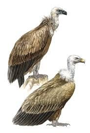 Image result for griffon vulture feathers
