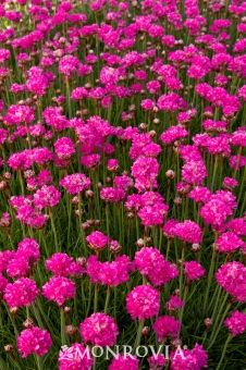 'Bloodstone' Armeria is a very controlled little perennial with an excellent seasonal flower show.