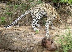 Life lessons from a leopard - Africa Geographic