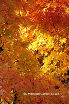 'Sango Kaku'  or Coral Bark Japanese Maple