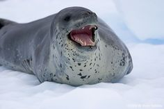 leopard seal - Google Search