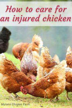 How to treat an injured chicken. Many veterinarians don't treat chickens and if one of your chickens become injured it's important to be able to treat her quickly and effectively. Here's how to treat a variety of wounds and injuries that your backyard chickens might have. Cute Chickens, Raising Chickens, Chickens Backyard, Chicken Story, Chicken Pictures, Guinea Fowl, Chicken Humor, Spoiled Rotten, Coops