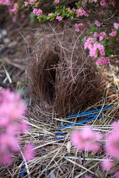 Satin Bowerbird nest - finding the magic in nature and in everyday life..it can take up to a year for the male to complete his bower.