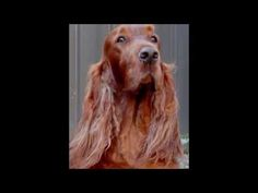 (9) Life is Short - Play with your irish setter - YouTube