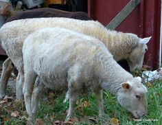 Learning how to shear a sheep takes practice and time. Before you head out to buy sheep shearing supplies try to observe a professional sheep shearer.