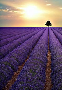I can smell the lavender... so calming.                                                                                                                    More
