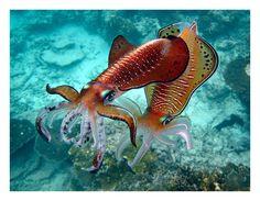 Cuttlefish, Lady Elliot Island, Queensland, Australia, February 2012 by Ignacio Palacios on 500px