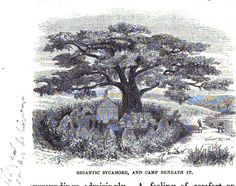 Gigantic sycamore and camp beneath it..Central Africa, 1870's