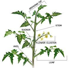 How to Prune Tomatoes: diagram for pruning tomato plants