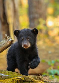"""""""the pitter-patter of little paws. most of the 2019 cubs are either born already or will be in the next few days. it'll only be a couple of months now till we see those fuzzy black dots running up and down the trees in the i can't wait! Forest Animals, Nature Animals, Animals And Pets, Bear Pictures, Cute Animal Pictures, Cute Funny Animals, Cute Baby Animals, Photo Ours, Black Bear Cub"""