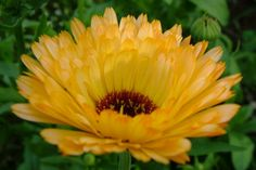 Yellow Marigold And Bud With Red Tulip In Background Stock Photo
