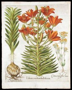 20 5/8 x 16  Lilium cruentum bulbiferum [Orange lily with bulbils and bulb]; Centaurium flore luteo [Late-blooming Blackstonia]. Basil BESLER.  $5500