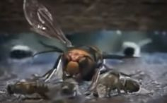 """This stunning video is like a Hollywood blockbuster movie (better even) complete with """"good vs evil,"""" and all-natural effects! You'll be horrified and amazed! Blockbuster Movies, Hornet, Best Funny Pictures, A Good Man, Savage, Bring It On, Bee Bee, Asian, Viral Videos"""