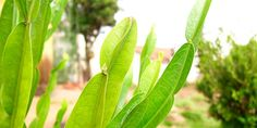 Carqueja Natural Medicine, Natural Health, Gardening Tips, Plant Leaves, Healing, Nature, Plants, Trees, Gardens