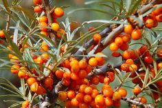 How to grow sea buckthorn. Sea buckthorn is a 'superfood' and a tree of increasing economic importance due to the health benefits it provides. The seeds. Fruit Trees, Trees To Plant, Fruit Orange, Berry, Seed Bank, Herb Seeds, Unique Plants, Medicinal Herbs, Healing Herbs