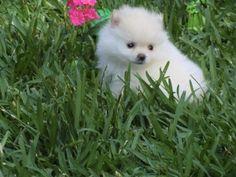 Precioso cachorro pomerania blanco de Criadero Cantillana. Visita nuestra web www.criaderocantillana.com buscanos en Facebook