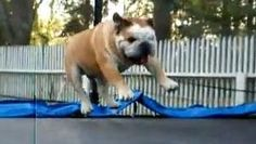 It's clear this dog has been on a trampoline before.  And it's clear that he loves it.  You'll get a kick out of how happily he bounds up and down on the trampoline.  It's a pleasant reminder of how fun our pets can be.