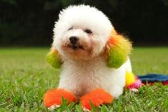 Funny Cute Little Poodle Dogs Photos 2013 | Funny Images Show