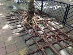 These Roots Grew Around The Sidewalk Blocks