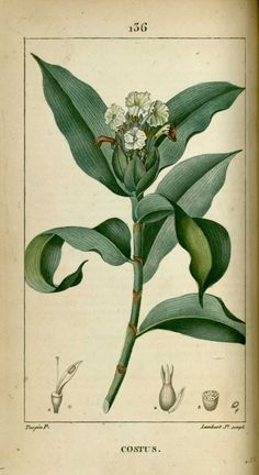 img/dessins-gravures de plantes medicinales/costus, costus arabique, costus d'arabie.jpg