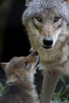 Wolf mother family animals dogs nature baby wild mother wolves