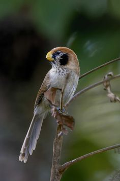 Spot breasted Parrotbill Status of birds endemic to Thailand Getting in the family Paradoxornithidae A small bird But the relatively ...