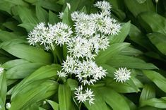 Wild garlic cultivation - sowing, care and harvest in the garden - BestxPins Types Of Herbs, Horticulture, Diy Herb Garden, Organic Plants, Fairy Garden, Harvesting Garlic, Healthy Plants, Easy Garden, Garden Care
