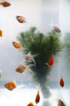 goldfish ^ Tao Sasaki